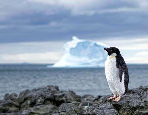 https://commons.wikimedia.org/wiki/File:Lone_Penguin_(8220200620).jpg
