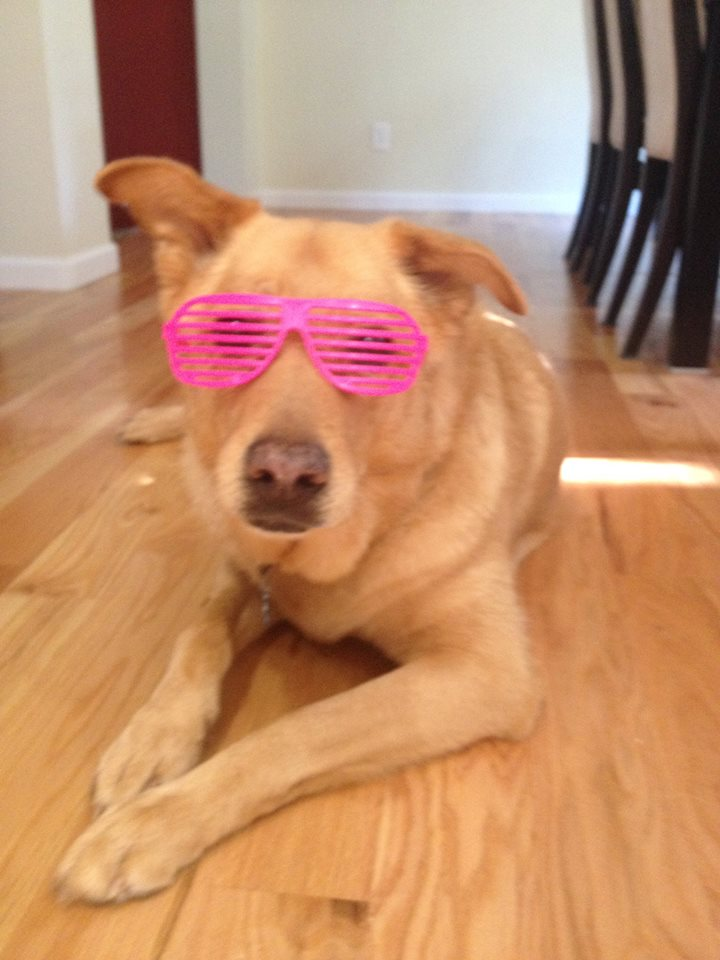 My dog Annie wearing pink sunglasses