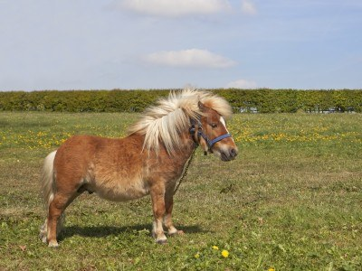 9467666-a-small-shetland-pony-standing-in-a-green-meadow-with-hawthorn-hedgerow-under-a-blue-sky